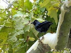 Interdiction de se lâcher 😂 (Jean-Daniel David) Tags: oiseau choucas choucasdestours platane feuille feuillage vert noir arbre france gard goudargues occitanie