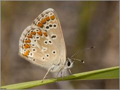 Morena serrana. (josemph) Tags: olympus e3 sigma 105mm zuico ec14 macro insectos marposas lepidópteros licénidos morenaserrana ariciamontensis butterfly mountainargus