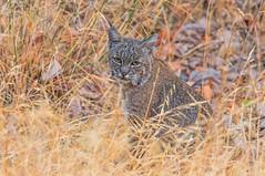 (Marc Crumpler (Ilikethenight)) Tags: wildlife bobcat usa california bayarea sfbayarea eastbay alamedacounty livermore delvalle marccrumpler eastbayregionalparkdistrict ebparksok ebrpd canon6d 6d