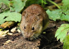 Vole Snacking (Mrs Airwolfhound) Tags: lackford lakes suffolk wildlife animals birds canon 70d summer vole cute furry