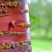 Bark of Tibetan Cherry (Prunus Serrula)