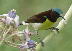 purple rumped sunbird (M) (aneeshpandian) Tags: sunbird purplerumped bird india