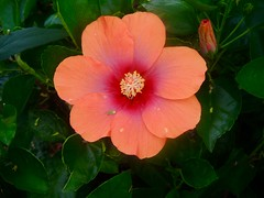 Flower (moacirdsp) Tags: flower savannah disneys animal kingdom villas jambo house resorts walt disney world florida usa 2018