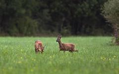 On a Sunday Afternoon (redfurwolf) Tags: deer nature wildlife grass field outdoor landscape animal redfurwolf sonyalpha a7rm3 bealpha tamron150600g2