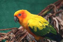Sun Conure (charliejb) Tags: sunconure conure bird parakeet avian feathered 2018 bristolzoogardens bristolzoo bristol wings beak eye