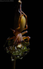 Sac spider (Clubionidae) with prey (pbertner) Tags: rainforest southamerica colombia choco jardinbotanicodelpacifico bahiasolano utrianationalpark pacificcoastal sacspider clubionidae