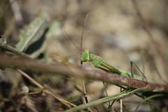 mante religieuse (bulbocode909) Tags: valais suisse mantesreligieuses insectes montagnes nature vert