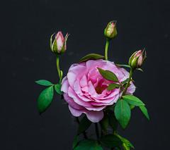 TRI-Power. (Omygodtom) Tags: art abstract autumn fall rose flower scene senery setting usgs tamron90mm macromonday lowkey bright 3 three flora flickriver diamond
