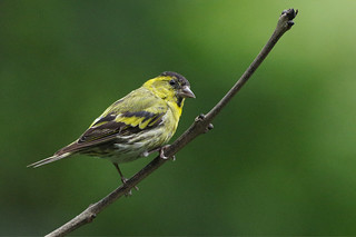 K32P1856c Siskin, Lake Vyrnwy, August 2018