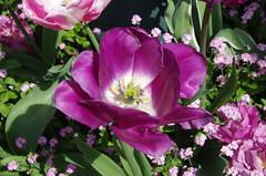 JLF14590 (jlfaurie) Tags: maintenon château castillo palace 22042018 jardin garden tulipes tulipanes tulips mechas gladys amigos friends michel magda sergio primavera printemps pentaxk5ii mpmdf jlfr jlfaurie spring flowers flores fleurs agua eau water canal intérieurs interiores inside