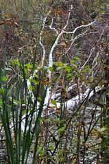 The tree broke / Упало... (SerenitySS) Tags: осень autumn октябрь october россия russia смоленскаяобласть smolenskregion природа nature дерево tree берёза betula birch