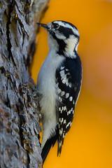 Downy Woodpecker, Dryobates pubescens (Mustafa Kasapoglu) Tags: downywoodpecker dryobatespubescens nature birds birdphotography bird birdwatching birding canada montreal ağaçkakan