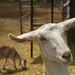 Corrales goat mom