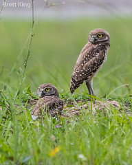 Burrowing Owls (dbking2162) Tags: florida birds bird birdofprey beautiful beauty burrowingowl owl nature nationalgeographic wildlife green explore cape