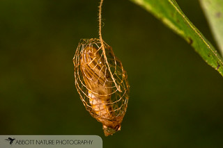 Urodid (False Burnet Moth) pupa 20180811_4253.jpg