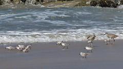 Sanderlings and Willets, Playa del Rey, CA CQ4A5385 (Hart Walter) Tags: ballonajetty playadelrey blackoystercatcher willet sanderling westerngull allenshummingbird blackturnstone surfbird