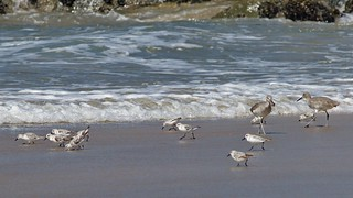 Sanderlings and Willets, Playa del Rey, CA CQ4A5385