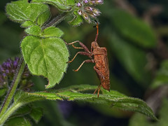 coreus_marginatus_brown_shield_bug_1190846 (jswildlife) Tags: jswildlife lumixgx8 olympusmacrolens60mmf28 m43 hemiptera invertebrates macro bug brownshieldbug coreusmarginatus insect