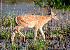 Wading through the marsh (tresed47) Tags: 2018 201808aug 20180815delawarebirds animals august bombayhook content deer delaware folder peterscamera petersphotos places season summer takenby us