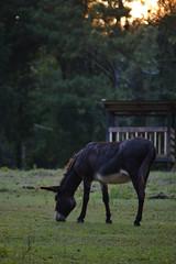 (The Front Porch Guild) Tags: horse donkey farm neighbor georgia northgeorgia nikond3100 golden hour