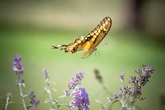 140A0258 (Ricky Floyd) Tags: butterfly canon