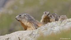 Marmottes (Lumières Alpines) Tags: didier bonfils goodson73 marmottes lautaret faune alpes france