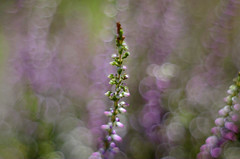 The heathers (ElaR.) Tags: nature naturecomposition naturecolours naturefantasy bokeh heathers heather plants flowers flower meadow meadowplants meadowflowers meadownooks meadowfantasy nikon ngc summer outdoor outside