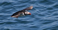 Puffin 230518 (59) (Richard Collier - Wildlife and Travel Photography) Tags: birds birdsinflight wildlife naturalhistory puffin