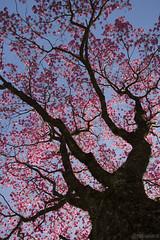 Ipê (Handroanthus impetiginosus) (fabsciack) Tags: chapecó tree árvore arvore flor flores florido florida ipê ipês ipêflorido arvoreflorida árvoreflorida primavera spring springtime color rosa roxo azul