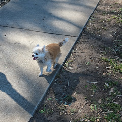 20180818-DSCF2715 (PM Clark) Tags: long coat chihuahua pure bred