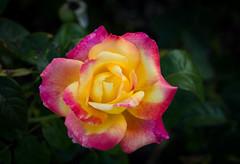Rosa bicolor (ampg69) Tags: rosa rose bicolor 55aismicro nikon micro macro d7100 ais