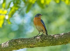 Eastern Bluebird (male) (tkclip47) Tags: eastern bluebird male bird perch tree song coth5 naturethroughthelens