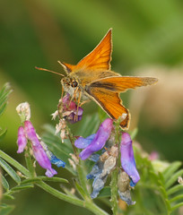 2018_07_0360 (petermit2) Tags: smallskipperbutterfly smallskipper butterfly northcavewetlands northcave brough eastyorkshire eastridingofyorkshire yorkshire yorkshirewildlifetrust ywt wildlifetrust wildlifetrusts