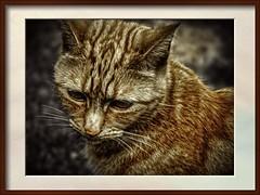 sad ginger (Mallybee) Tags: osawa 2880mm f3545 dcg9 g9 lumix panasonic oldlens mallybee cat ginger sad