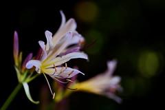 flower 1607 (kaifudo) Tags: sapporo hokkaido japan botanicalgarden flower resurrectionlily 札幌 北海道 北大植物園 ナツズイセン 夏水仙 nikon d810 sigmaapomacro105mmf28 sigma 105mm