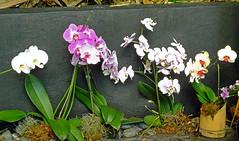 Orchids 2 (Cornishcarolin. Stupid busy!! xx) Tags: cornwall httpswwwedenprojectcom nature flowers plants orchids