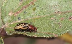 Zygogramma piceicollis (Stål, 1859) (carlos mancilla) Tags: insectos escarabajos beetles zygogrammapiceicollisstål1859 zygogrammapiceicollis escarabajodelasmargaritas chrysomelidae chrysomelinae canoneos700d canoneosrebelt5i ef100mmf28macrousm