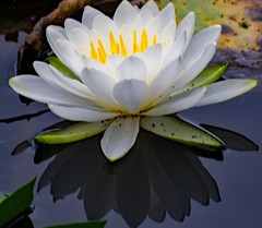 Reflections ❤️ (kirsten.eide) Tags: nature outdoors reflection water flowers