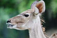 Portrat (Hugo von Schreck) Tags: hugovonschreck animal deer canoneos5dsr thalkirchen münchen bayern tamronsp150600mmf563divcusda011