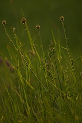 На лугу / In the meadow (Владимир-61) Tags: июнь лето природа трава флора june summer nature flora sony ilca68 minolta 75300