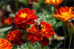 DSC_4663 (FMAG) Tags: 201809 dzialka kwiatki macro