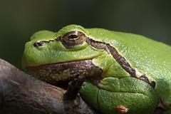 (Explore) Relaxed European Tree Frog (Hyla arborea) Boomkikker (Ron Winkler nature) Tags: hyla arborea tree frog boomkikker hylaarborea europe awd netherlands nederland herpetology amphibian canon 100mm macro hylaeuropea green wildlife nature