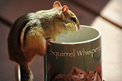 =Morning coffee with my little friend... (nushuz) Tags: chippie chipmunk cutestphotoever coffeecup myporch breakfastwiththechippies squirrelwhisperer perchedonmycoffeecup seed
