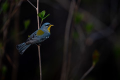 Northern Parula (nikunj.m.patel) Tags: northernparula nature wild wildlife outdoors bird birds spring migration songbird nikon warbler beauty