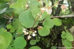 Begonia sp. (GeeC) Tags: begonia begoniaceae cambodia cucurbitales dicotyledons fernsandfernallies kohkongprovince landplants magnoliopsida nature plantae streptophyta tatai tracheophyta