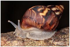 Snail / Caracol (Panama Birds & Wildlife Photos) Tags: macro macrophotography macrowildlife wildlife wildlifephotography wild wildanimal wildlifephotographer caracol snail pulmonata gastropod gastropoda
