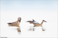 Blue-winged Teal Pair (Daniel Cadieux) Tags: teal bluewingedteal two pair couple stretch wingstretch preen preening waterfowl duck ducks ottawa ottawariver