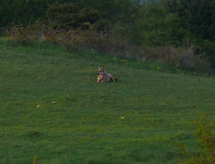 p1250291 (claudiopoli) Tags: animali animalia chordata mammalia carnivora canidae canis lupus lupo autouploadfilenamep1250291jpg