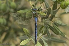The emperor (Ricardo Menor) Tags: odonatos odonata anisópteros libélulas dragonflies dragonfly airelibre iluminaciónnatural insecto macrofotografía canon60d 2018 elpinós2018 anaximperator macho male