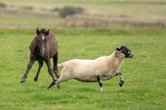 Sheep Chasing! (Linda Martin Photography) Tags: pony davidstoweairfield horse bodminmoor cornwall uk crowdyreservoir naturethroughthelens coth coth5 alittlebeauty ngc npc